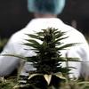 Logo Argentina y Brasil acordaron impulsar la producción y comercialización del cannabis