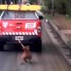 Logo Pitbull Maltratado por un Móvil del COT (Tigre) - Como Perros y Gatos - Nº 184 - 03-09-2016