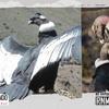 Logo El cóndor andino y la falsa creencia de que mata al ganado