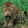 Logo Vuriloche, Nahuel es hombre jaguar