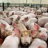 Logo Entrevista a Maristella Svampa: ¿Argentina será la nueva fábrica de cerdos para China? | #AS