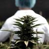 """Logo Cannabis: """"Por mejores intenciones que pueda tener el Ejecutivo, acá hay que cambiar las leyes"""""""