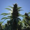 Logo Conceptos y adelantos sobre el estudio del cannabis para uso medicinal