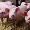 Logo Nota a Marcos Filardi sobre el posible acuerdo de Argentina y China para la exportación de cerdos