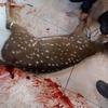Logo Liberaron un ciervo exótico e invasor en un área protegida (Gualeguaychú, Entre Ríos)