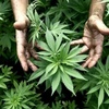 Logo Cannabis medicinal: ¿Qué implicaría la adhesión de Córdoba a esta ley?
