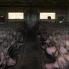 """Logo Fábricas de cerdos: """"Todos los lugares donde ha habido mega-granjas, hay conflictividad social"""""""