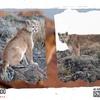 Logo El Puma y los diferentes factores que ponen en riesgo su conservación