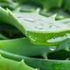"Logo "" Aloe Vera, la planta de grandes virtudes"""