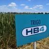 Logo Soberanía alimentaria - ¿Trigo transgénico? - con Belen Silva